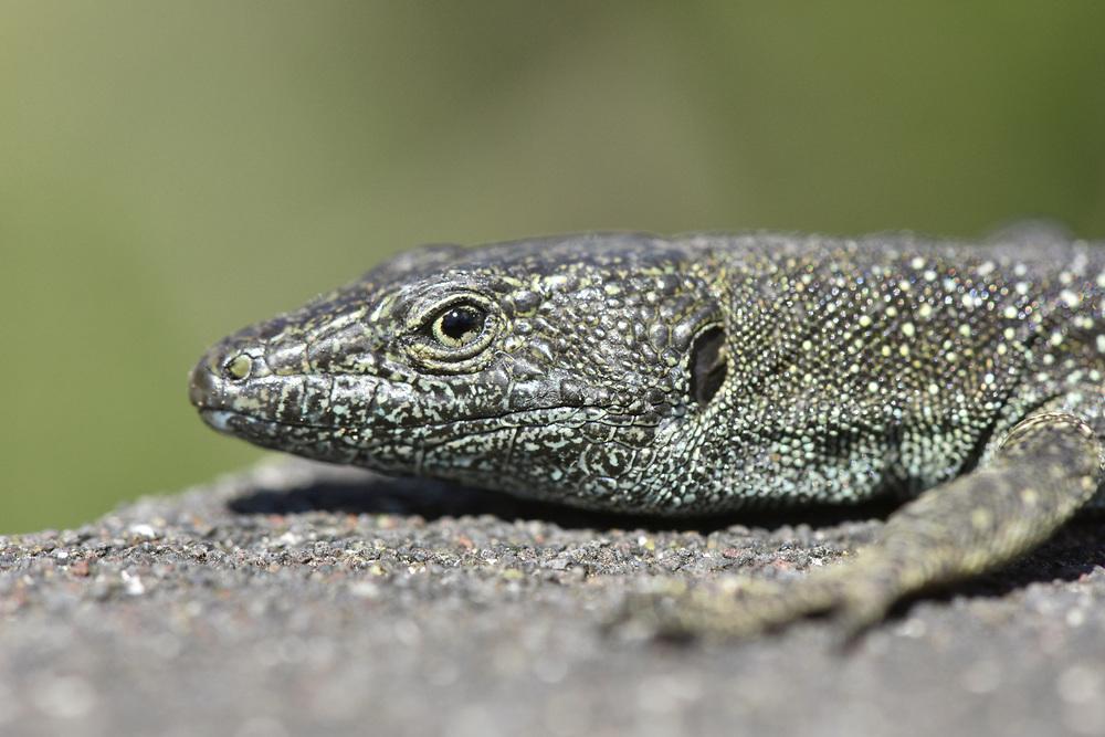 Madeiran Wall Lizard - Lacerta dugesii