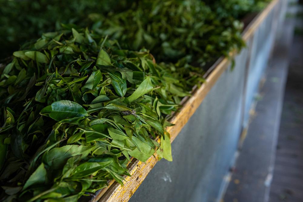 Harvested tea leaves being processed in a tea producing factory in Nuwara Eliya, Sri Lanka