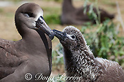 black-footed albatross, Phoebastria nigripes ( formerly Diomedea nigripes ), chick taps at mother's bill to initiate feeding, Sand Island, Midway Atoll, Midway National Wildlife Refuge, Papahanaumokuakea Marine National Monument, Northwest Hawaiian Islands, USA ( North Pacific Ocean )