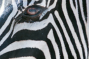 extreme Closeup of the side of a Zebra