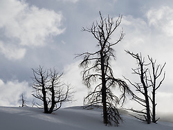 North America, United States, Wyoming, Yellowstone National Park,  Mammoth Hot Springs, bare trees in snow