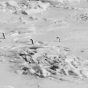 Adelie penguins making the trek from the ocean to the colony.