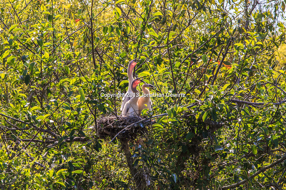 A trio of Anhinga (Anhinga anhinga) chicks in their nest along a canal in the Shark Valley Section of Everglades National Park, Florida. WATERMARKS WILL NOT APPEAR ON PRINTS OR LICENSED IMAGES.