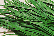 Close up photograph of Chinese Chives on a tablecloth