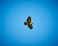 Red-tailed Hawk soaring. Image taken with a Nikon D3 camera and 80-400 mm VR lens (ISO 200, 400 mm, f/5.6, 1/640 sec).