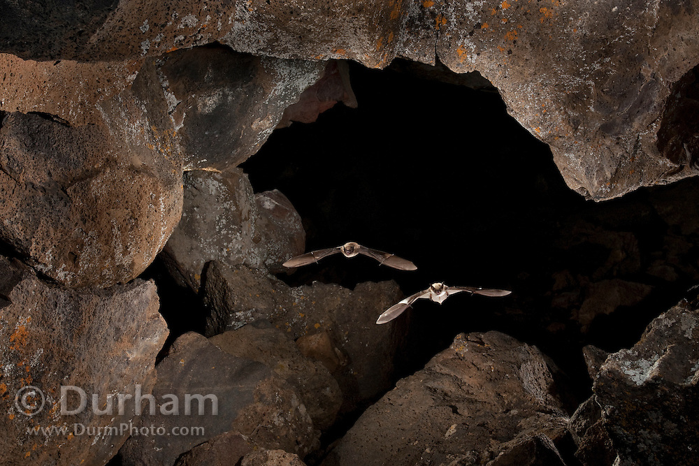 A long-eared bat (mytis evotis) (right) is followed by a western long-legged bat (Myotis volans) as they flight out of Pond Cave in Craters of the Moon National Monument, Idaho.