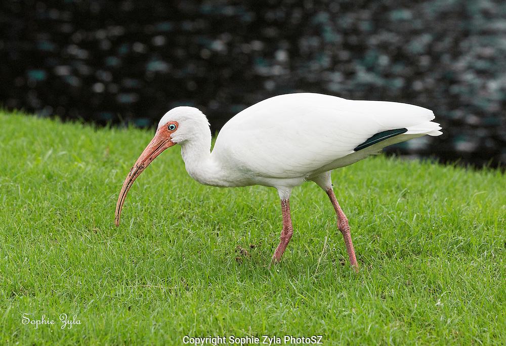 White Ibis sees something