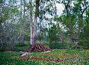 Beaver lodge among exotic water hyacinths, Eichhornia crassipes, carpeting water surface of tha Atchafalaya Basin, Lousiana.