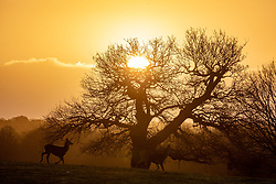 © Licensed to London News Pictures. 17/12/2020. London, UK. Deer walk past trees during a magnificent sunrise in Richmond Park, South West London this morning on the second day of Tier 3 for parts of the South East of England as the government agonise over further restrictions for the Christmas period. Today, Health Secretary Matt Hancock will announce the latest updates on the government's tiering system as health officials put the pressure on the government not to reduce tier levels before Christmas. London was put into Tier 3 Very High Alert yesterday (Wednesday) after a new Covid-19 variant was discovered. Photo credit: Alex Lentati/LNP