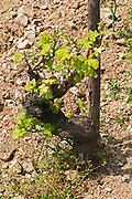 An old Syrah vine  In the vineyard Le Pavillon of M Chapoutier on the Hermitage hill, sandy and pebbly soil.   Domaine M Chapoutier, Tain l'Hermitage, Drome Drôme, France Europe