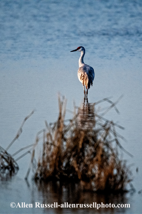 Sandhill Cranes, (Grus canadensis), Whitewater Draw Wildlife Area, Arizona