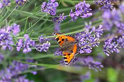 THEMENBILD - ein Schmetterling (Fuchsschwanz ) sitzt in einem Lavendel, aufgenommen am 16. Juli 2017, Kaprun, Österreich // A butterfly (foxtail) on a lavender flower, on 2017/07/16, Kaprun, Austria. EXPA Pictures © 2017, PhotoCredit: EXPA/ Stefanie Oberhauser