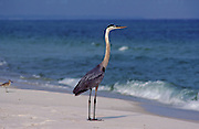 Great Blue Heron on beach - Florida.