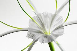 Hymenocallis-Beach Spider Lily#9