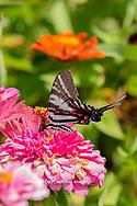 03006-00419 Zebra Swallowtail (Protographium marcellus) on Zinnia Union Co. IL