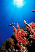 red finger sponges or red rope sponges, <br /> Amphimedon compressa,<br /> Bahamas ( Western Atlantic Ocean )