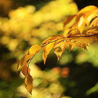 """""""Beech Leaves of Gold""""<br /> <br /> Beautiful fall foliage! Lovely sunlight on Beech leaves in autumn!<br /> <br /> Fall Foliage by Rachel Cohen"""
