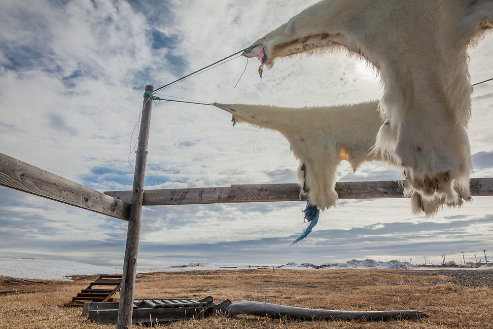 Drying polar bear skins, Point Hope, The Purchase Centennial Poject