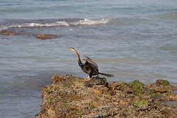 A cormorant stretches its wings at Entrance Point in Broome.