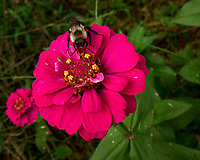 Bee feeding on a Zinnia. Image taken with a Leica SL2s camera and Laowa 24 mm f/14 macro lens.
