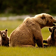 Alaskan Brown Bear (Ursus middendorffi) Young cubs playing with mother, cub reaches for mothers mouth with paw. Cute. Katmai National Park. Alaska. Spring...Alaskan Brown Bear (Ursus middendorffi) Young cubs playing with mother, cub reaches for mothers mouth with paw. Cute. Katmai National Park. Alaska. Spring.