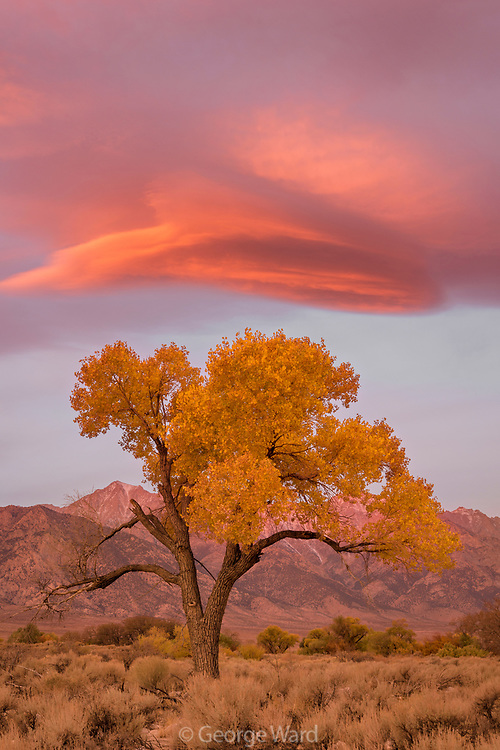 Cottonwood and Pre-dawn Cloud, BLM Lands, Inyo County, California