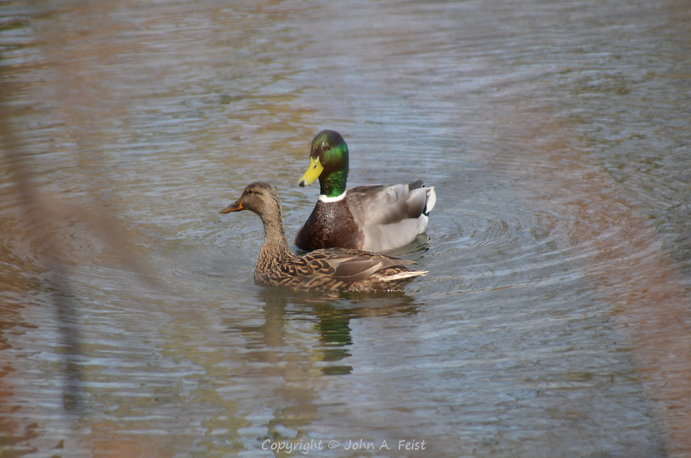 A duck and drake taking a leisurely swim on the D and R Canal in Hillsborough, NJ