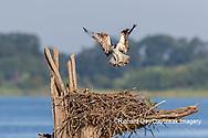 00783-02117 Osprey (Pandion haliaetus) landing with stick at nest Rend Lake Jefferson Co. IL