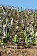 vineyard cote rotie domaine g bonnefond ampuis rhone france