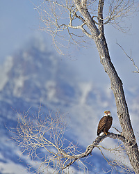 A  perched perched in a cottonwood tree in the Grand Tetons.