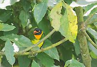 Orange-breasted fruiteater, Pipreola jucunda. Refugio Paz de las Aves, Ecuador