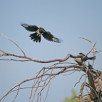 Black-Billed Magpies (Pica hudsonia) cavort on dead tree branches in Montan's Gallatin Valley, near Bozeman.