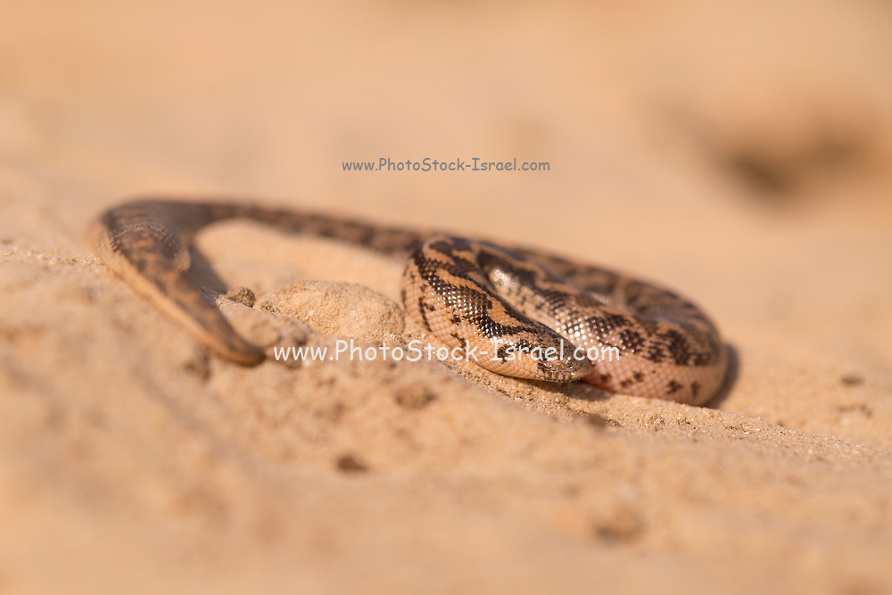Javelin sand boa (Eryx jaculus) in the sand. This snake is found in Eastern Europe, the Caucasus, the Middle East, and Africa. Photographed in Israel in April