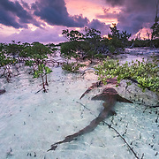 The male nurse sharks begin courting females as the sun begins to rise.