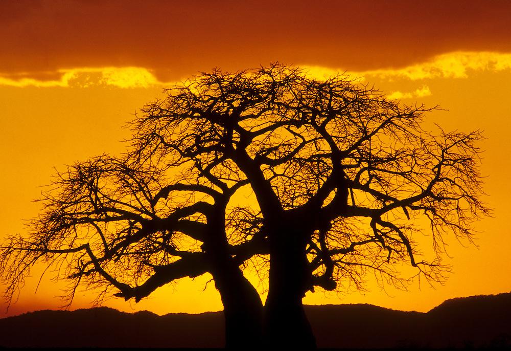 Africa, Tanzania, Tarangire National Park, Baobob tree (Adansonia digitata) silhouette at sunset