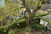 Mulberry Removal