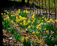 Daffodils. Image taken with a Fuji X-T2 camera and 100-400 mm OIS lens (ISO 200, 400 mm, f/6.4, 1/600 sec).