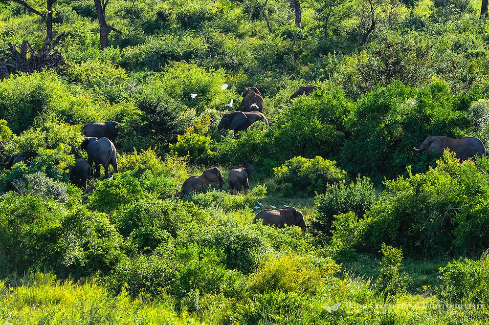 An Elephant herd across the river from Pestana Kruger Lodge, Kruger National Park, South Africa.