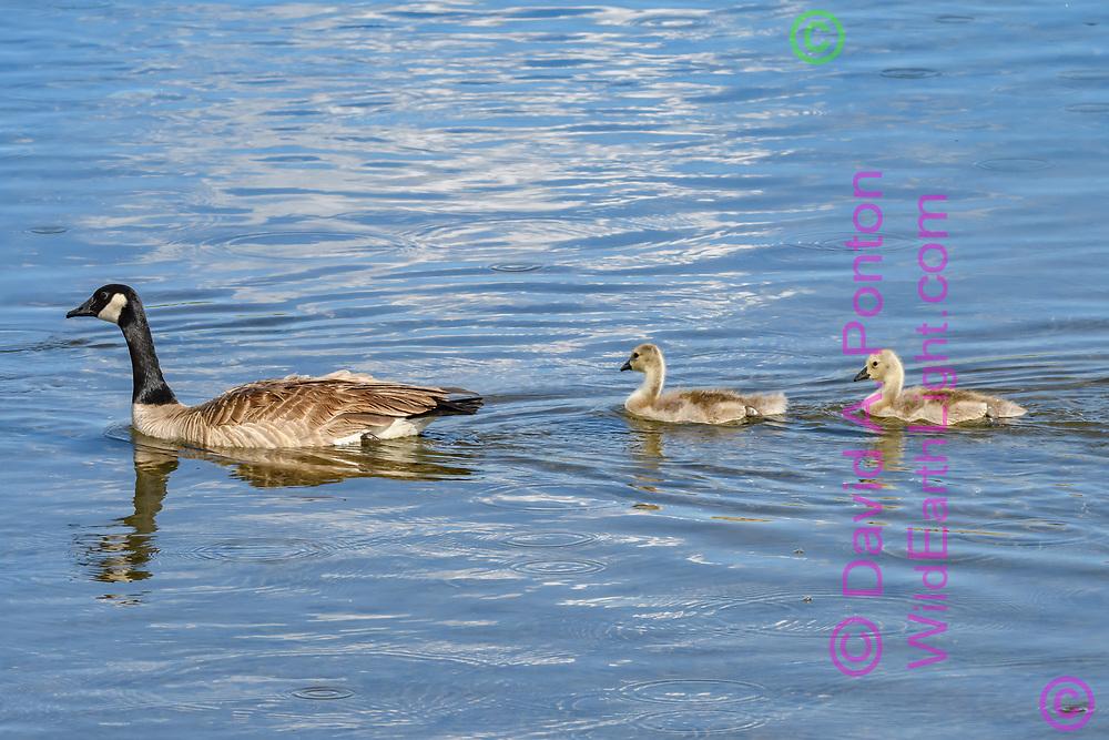 Canada goose leading goslings on Yellowstone River. © David A. Ponton