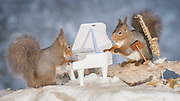 "EXCLUSIVE<br /> Photographer Pictures Squirrels With Tiny Musical Instruments Through Kitchen Window<br /> <br /> Some years ago, squirrels started to come to photographer Geert Weggen's  garden, He decided to build an outside studio from a balcony and started to shoot photos his kitchen window, Some days upto 6 squirrels visit Geert daily.<br /> <br /> This year Geert worked on an idea for a children's book, ""Squirrel Teaching You The Alphabet"", and was confronted with some letters like an object starting with an ""X"". That became a squirrel photo with a xylophone. From there Geert started doing a series of squirrel photos with music instruments. ""It took months to get some music instruments with the right size. I try to bring some magic, wonder and happiness with my work"", these are real photos. Sometimes I take away a wire or some food.<br /> <br /> Photo Shows: SONG FOR YOU...red squirrels in snow with saxophone and piano  <br /> ©Geert Weggen/Exclusivepix Media"