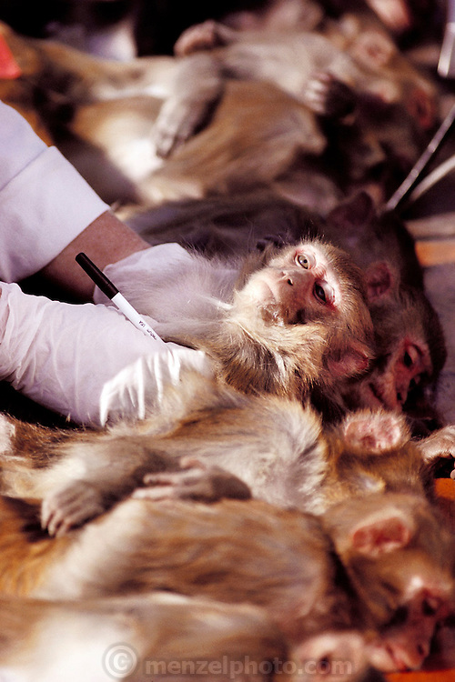 (1992) Using Rhesus monkeys, the National Institute of Health is attempting to develop retro-viral free (Herpes-B free) monkeys because virus-carrying monkeys can throw off test results. The goal is to minimize inbreeding to insure a pure test breed.  Human probes are being used to identify polymorphism in monkeys, and the monkeys' blood samples are DNA fingerprinted.  Monkeys are moved among half-acre outdoor pens and other smaller cages thereby minimizing inbreeding. University of California Davis, Department of Anthropology. DNA Fingerprinting.