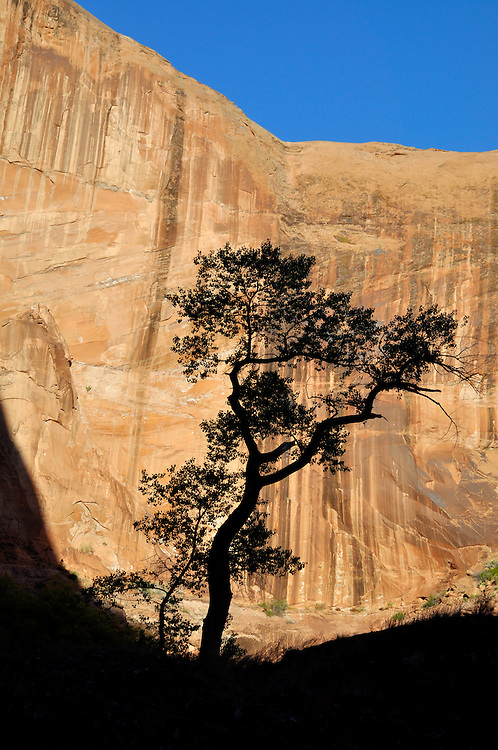 Cottonwood tree silhouetted against canyon wall, Coyote Gulch, Utah.