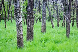Tree trunks and spring grasses, Texas Buckeye Trail, Trinity River, Dallas, Texas, USA.