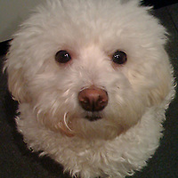 This is a poodle who is using her smarts.