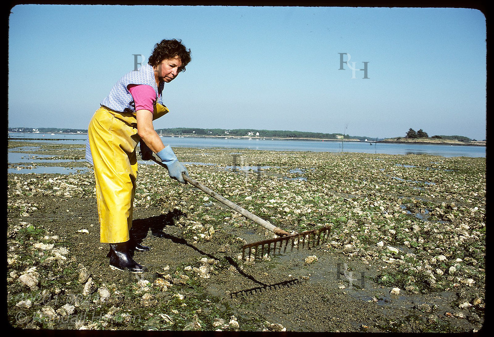 Oysterwoman rakes Japanese oysters-dumped near shore @ high tide for final maturation-into pile. France