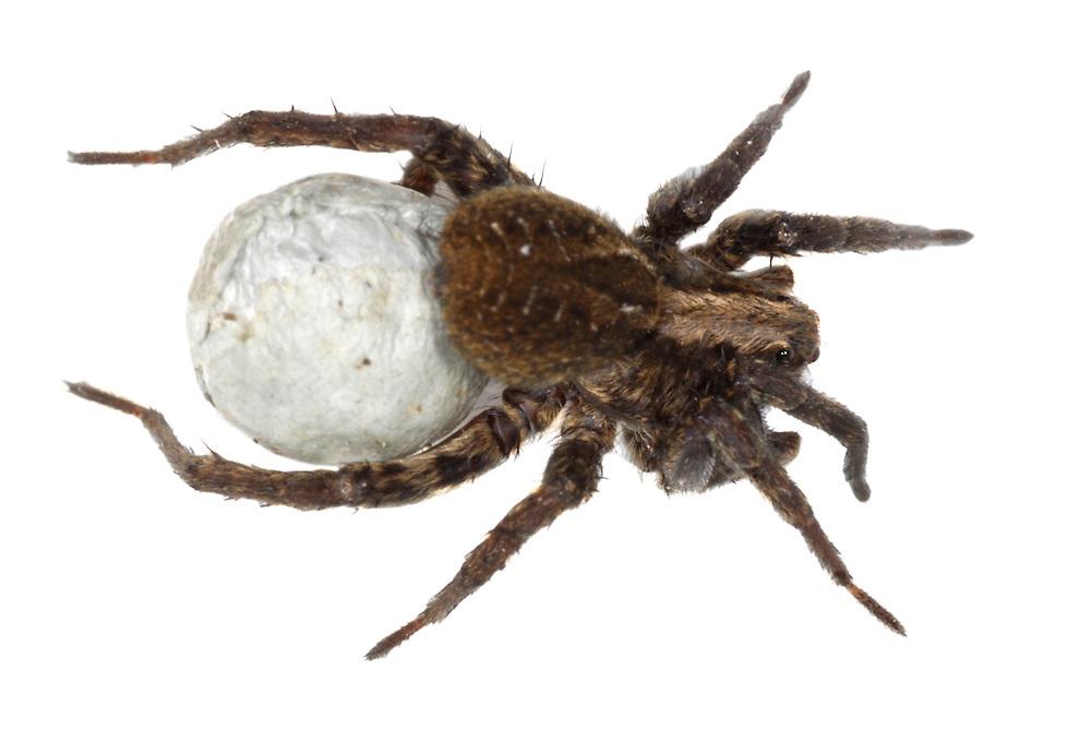 Wolf Spider - Pardosa lagubris