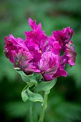 Tulipa 'Negrita Parrot'