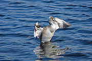 Great Crested Grebe in winter plumage, shaking off excess water.