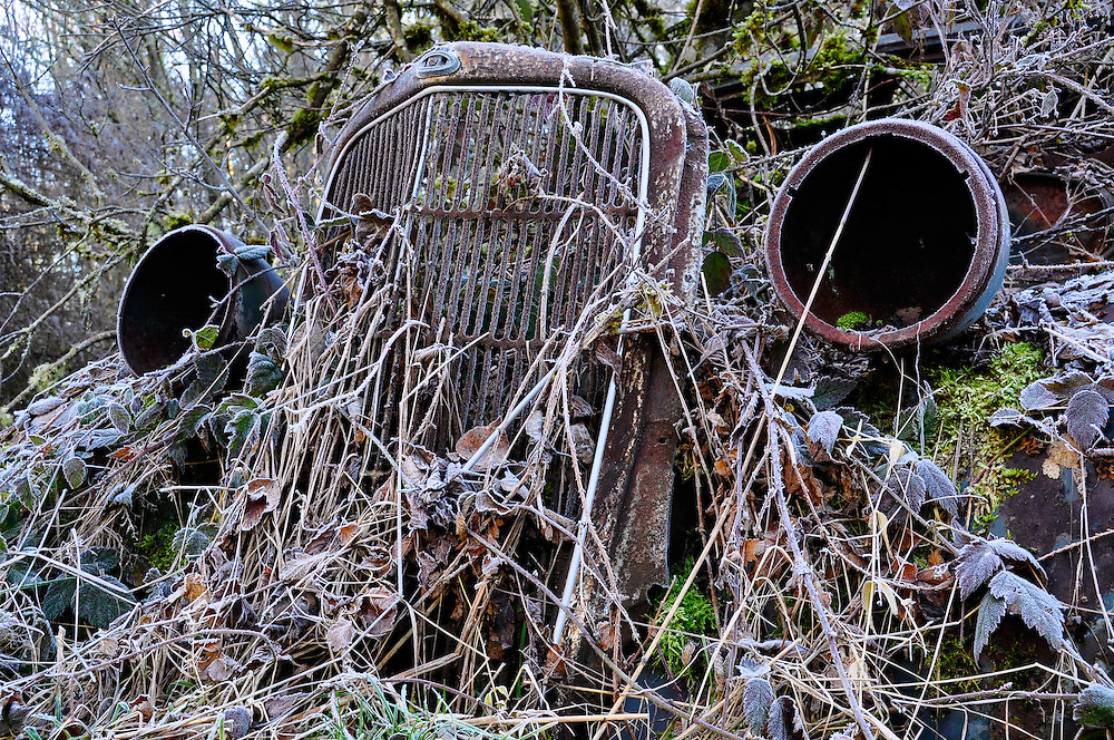 Frosty blackberry vines covering an old abandoned car near Olympia, Washington.