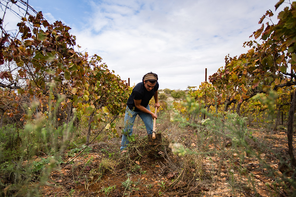 Jewish Israeli worker Orel Levi uses a hoe to clear the ground between grapevine branches at Psagot Vineyard, in the West Bank Jewish settlement of Psagot, near the Palestinian West Bank city of Ramallah, on November 17, 2015.
